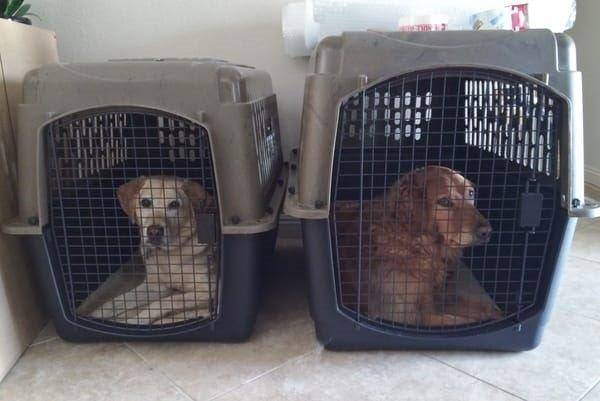 Our two dogs, Maggie and Rosie, each in their crate, side by side, patiently waiting for the paperwork to be completed. The crates have mesh doors so the dogs have a clear view of everything outside